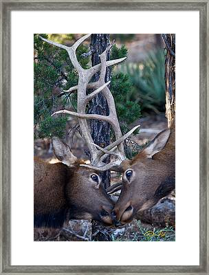 Locking Horns - Well Antlers Framed Print by Rikk Flohr