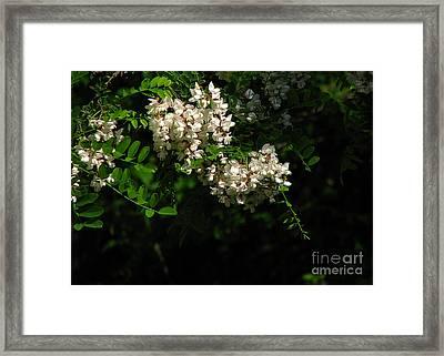 Framed Print featuring the photograph Locust Blossoms by Deborah Johnson
