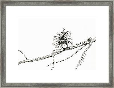 Lodgepole Pine Cone Framed Print