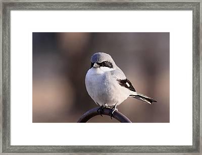 Loggerhead Shrike - Smokey Framed Print