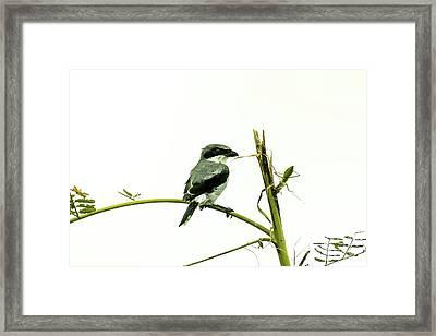Loggerhead Shrike And Mantis Framed Print by Robert Frederick