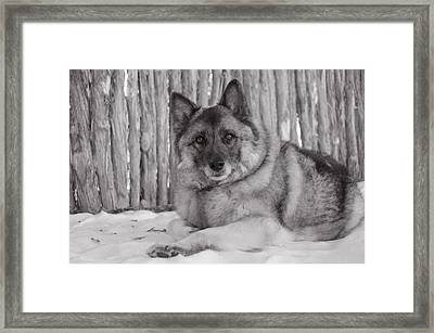 Loki By Fence Framed Print