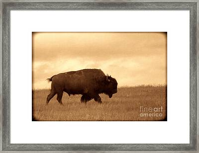Lone Bison  Framed Print by American West Legend By Olivier Le Queinec