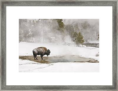 Framed Print featuring the photograph Bison Keeping Warm by Gary Lengyel