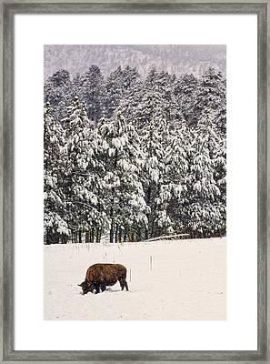 Lone Bison Framed Print