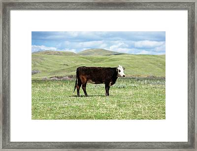 Lone Black Angus Cow Framed Print by Todd Klassy