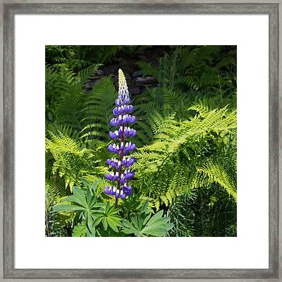 Lone Blue Lupine Framed Print
