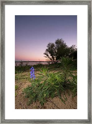 Lone Bluebonnet Shining - Texas Framed Print by Ellie Teramoto