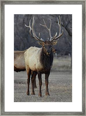 Framed Print featuring the photograph Lone Bull by Billie Colson
