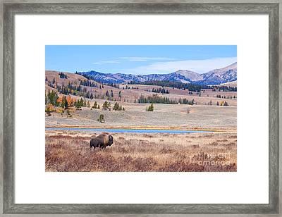 Lone Bull Buffalo Framed Print