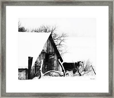 Lone Cow In Snowstorm Framed Print