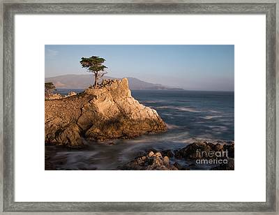 lone Cypress Tree Framed Print