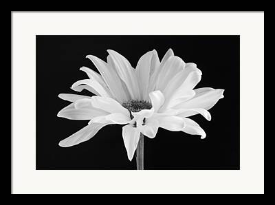 Daisies Framed Prints