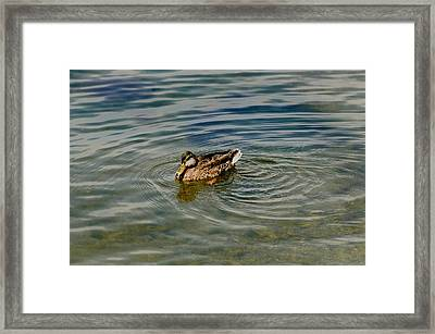 Lone Duck Swimming On A River Framed Print by Todd Gipstein
