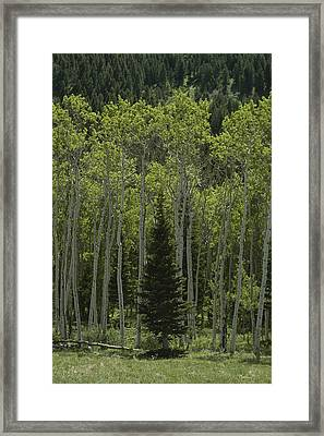 Lone Evergreen Amongst Aspen Trees Framed Print by Raymond Gehman