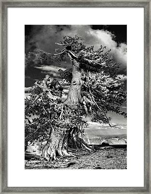 Lone Gnarled Old Bristlecone Pines At Crater Lake - Oregon Framed Print