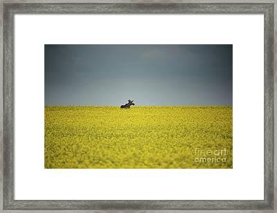 Lone Moose Framed Print