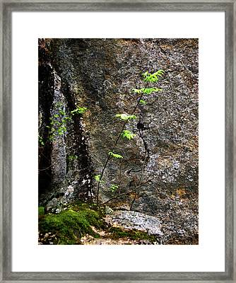 Lone Mountain-ash Sapling On  A Rock Cliff Framed Print