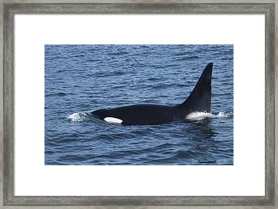 Lone Orca Framed Print