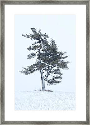 Lone Pine In Snowstorm Framed Print