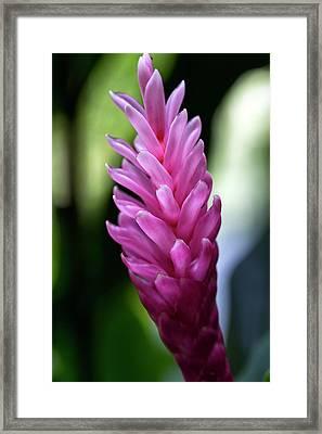 Lone Pink Ginger Framed Print by Brad Granger