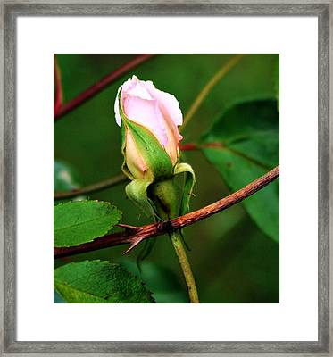 Lone Rose Bud Framed Print by Cathie Tyler