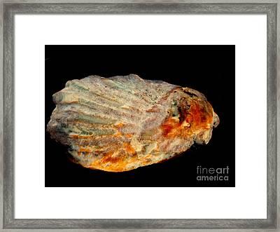 Lone Seashell Framed Print by Rick Maxwell