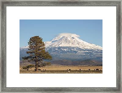Lone Tree And Mount Shasta Framed Print by Loree Johnson