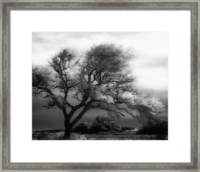 Lone Tree At Gulf Shores Framed Print by Fred Baird