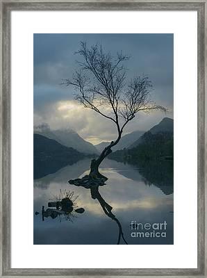 Lone Tree At Llyn Padarn At Sunrise Framed Print by Amanda Elwell