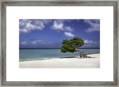 Lone Tree In Aruba Framed Print