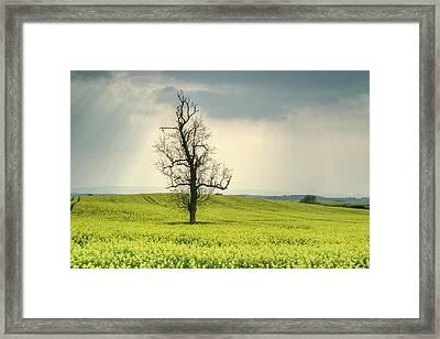 Lone Tree In Rape Field 2 Framed Print by Douglas Barnett