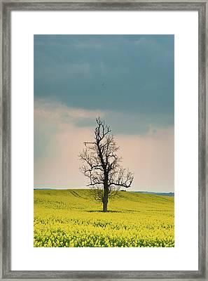 Lone Tree In Rape Field 4 Framed Print by Douglas Barnett