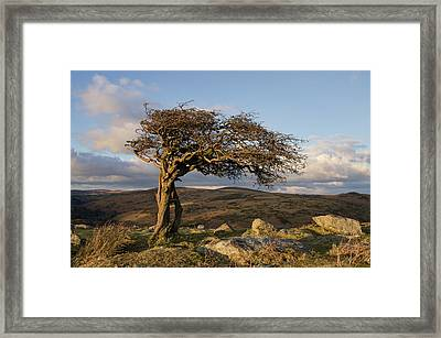 Lone Tree On Dartmoor Framed Print by Pete Hemington