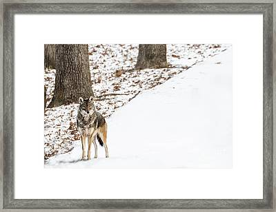 Lone Winter Coyote Framed Print