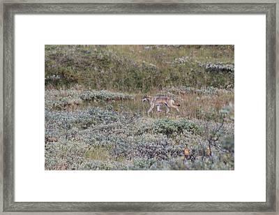 Lone Wolf Framed Print by David Wilkinson