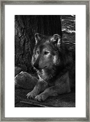 Lone Wolf Framed Print by Karol Livote