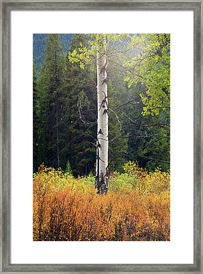 Lonely Aspen Framed Print by Frank Wicker
