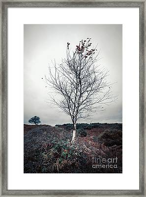 Lonely Birch Tree Framed Print by Svetlana Sewell
