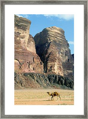 Lonely Camel In The Desert Of Wadi Rum Framed Print by Sami Sarkis