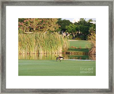 Lonely Goose On The Golf Course Framed Print