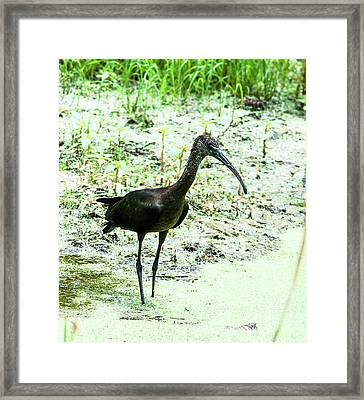 Lonely Ibis Framed Print by Norman Johnson