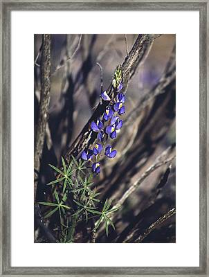 Lonely Lupine Framed Print