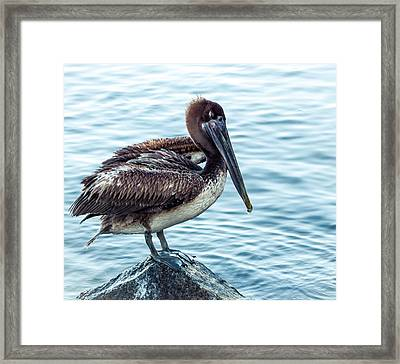 Lonely Pelican Framed Print by Debra Forand