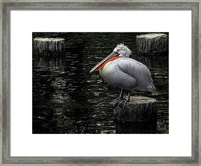 Framed Print featuring the photograph Lonely Pelican by Pradeep Raja Prints
