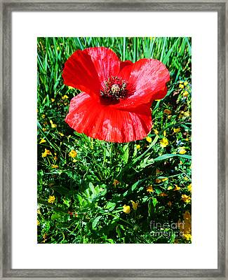 Lonely Poppy Framed Print by Don Pedro De Gracia