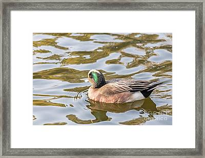 Lonely Wigeon Framed Print by Kate Brown