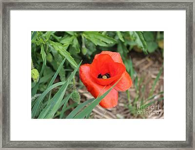 Lonesome Poppy Framed Print