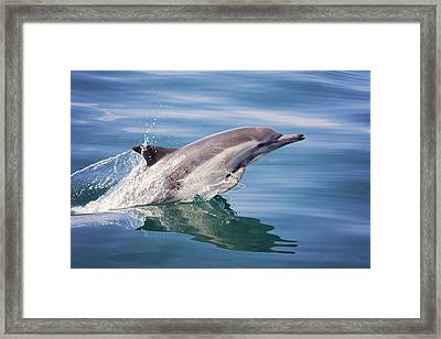 Long Beaked Common Dolphin Framed Print
