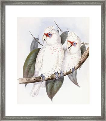 Long-billed Cockatoo Framed Print